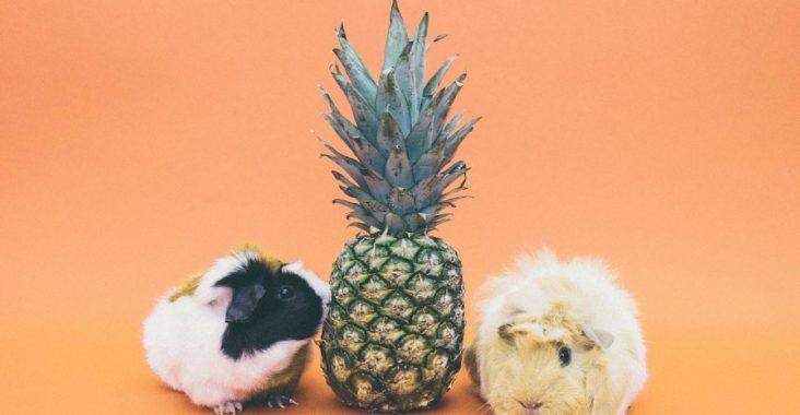 petites bêtes cochons d'inde ananas